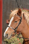 ON SALE!!! CAVESSON NOSEBAND